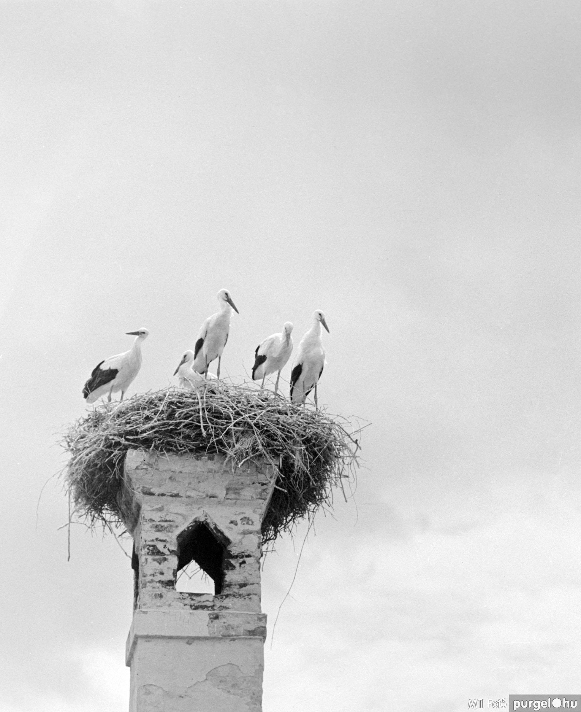 Kémény tetején fészkelő gólyacsalád I. Szegvár, 1962. július 23.